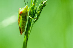 Insect portrait hawthorn shield-bug Royalty Free Stock Images