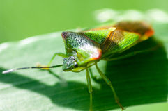 Insect portrait hawthorn shield-bug Stock Photo