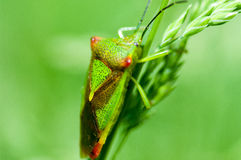 Insect portrait hawthorn shield-bug Stock Photos