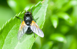 Insect portrait hoverfly Royalty Free Stock Photography