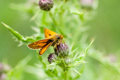 Insect portrait large skipper butterfly Royalty Free Stock Photography