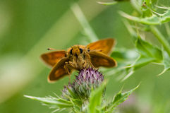 Insect portrait large skipper butterfly Royalty Free Stock Photo