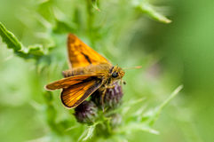 Insect portrait large skipper butterfly Royalty Free Stock Photos