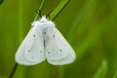 Insect portrait muslin moth Royalty Free Stock Photo