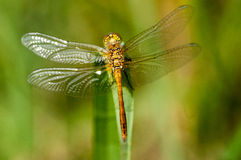Insect portrait ruddy darter Stock Photos