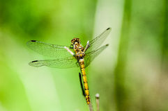 Insect portrait ruddy darter Royalty Free Stock Photos
