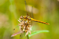 Insect portrait ruddy darter Stock Image