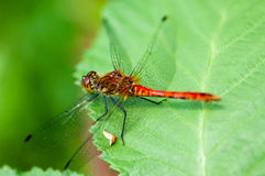 Insect portrait ruddy darter Stock Photography