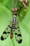 Insect portrait scorpion fly Stock Photo