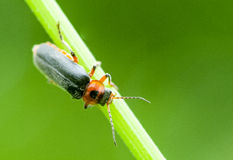 Insect portrait soldier beetle Stock Image