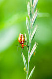 Insect portrait soldier beetles Royalty Free Stock Photography