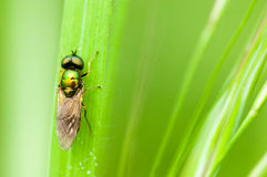 Insect portrait soldier fly Royalty Free Stock Image