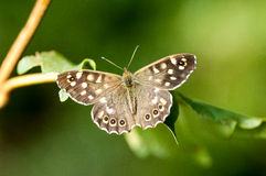 Insect portrait speckled wood butterfly Stock Image