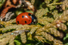 Insect portrait 7-spot ladybird Royalty Free Stock Photos