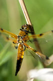 Insect portrait 4-spotted chaser Royalty Free Stock Image