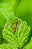 Insect portrait spotted crane-fly at rest. Insect portrait spotted crane-fly (Nephrotoma appendiculata) at rest on a bramble leaf (Rubus fruiticosus Royalty Free Stock Image