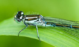 Insect portrait variable damselfly Stock Photo