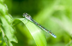 Insect portrait variable damselfly Stock Photos