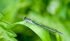 Insect portrait variable damselfly Stock Image