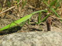 Insect - Praying mantis Stock Photo