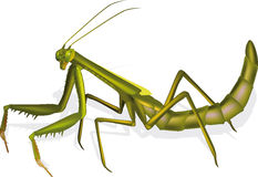 insect praying mantis Royalty Free Stock Photography