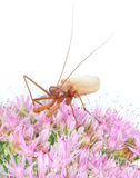 Insect, Praying mantis. Male praying mantis on a flower Royalty Free Stock Images