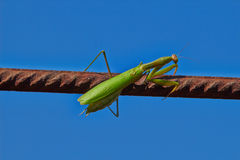 Insect praying mantis Stock Photo