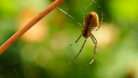 Spider hanging on a web in a Sunny summer forest. Insect predator - a symbol of tenacity and netting. Arthropod a large spider waits for prey stock video