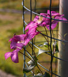 Insect on purple flower climbing plant clematis. Royalty Free Stock Photo