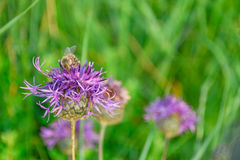 Insect on purple flower. Cornflower on a background of green grass in a field in summer Royalty Free Stock Photos