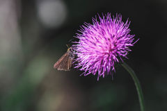 Insect on Purple Flower. Moth on purple thistle blossom Stock Images