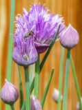 Insect in Purple Petaled Flower Royalty Free Stock Photos