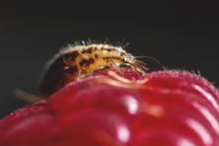 Insect on a raspberry Royalty Free Stock Photo