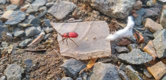 Insect with red blood royalty free stock photos