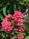 Insect on red flowers of the christ plant stock images
