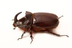 Insect-rinoceros royalty-vrije stock afbeeldingen
