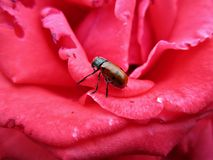 Insect in a rose flower Stock Photography