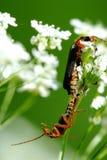 Insect's kamasutra Royalty Free Stock Image
