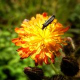 Insect sat on a flower. Insect sat on a weird orange flower Stock Photo