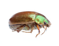 Insect scarab beetle Stock Photo
