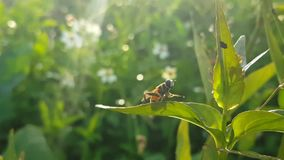 The Insect Is Scraping Its Legs on the Leaf. Scraping the legs is an activity of insect life stock footage