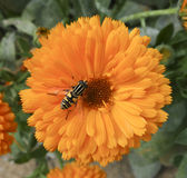 Insect settled on a Yellow Flower. A Bee settled on a Yellow Flower Stock Photo