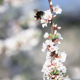 Insect-shaggy bumblebee flies around and gathers nectar from a b. Lossoming branch of a cherry in the may spring garden Stock Image