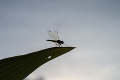 Dragonfly on leaf, Insect Royalty Free Stock Photos