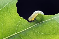 Insect silkworm macro shooting. High definition Royalty Free Stock Image