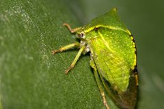 Insect, similar to a small green leaf. Macro Stock Images