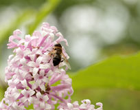 Insect sitting on lilac Stock Images
