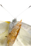 Insect small white butterfly Royalty Free Stock Photos