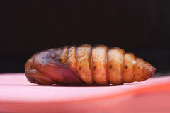 Insect snout moth cocoon  on black Royalty Free Stock Photo