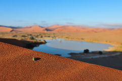 An insect at Sossusvlei in the Namib Desert. An insect on a dune with Sossusvlei in the Namib desert of Namibia filled with water in the background Stock Photography